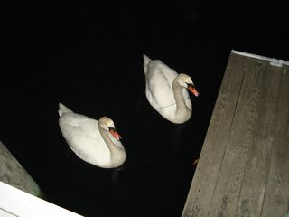 Late night swans