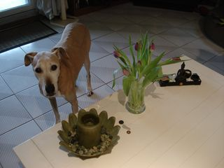 Tika with tulips