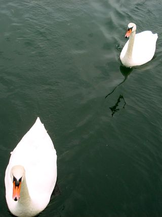 2swans swimming