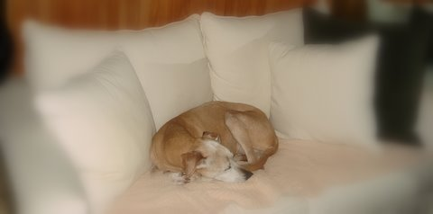 Tika sleeping on the couch