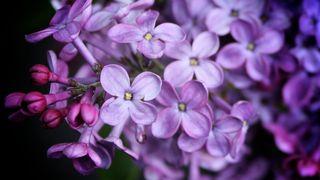 LilacsWEB